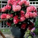 Rhododendron-Azalea