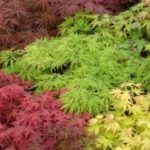 Acers - Japanese Maples