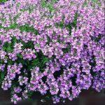 Highly fragranced Nemesia