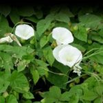 How to control bindweed