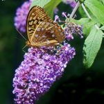 Butterfly Bush - buddleja