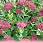 Growing sedum