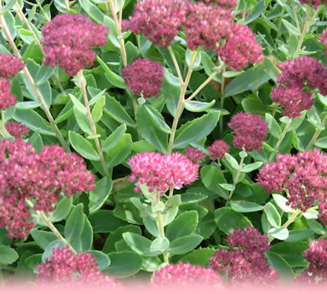 Sedum - all year round colour and interest