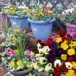 Ready planted winter bedding containers