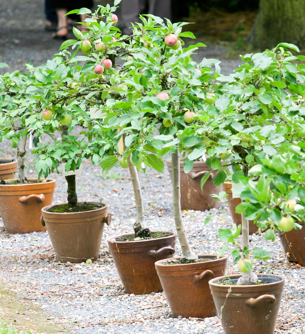 Growing Fruit Trees In Pots Containers Henry Street Garden Centre
